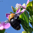 Giant Carpenter Bee