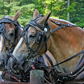 Work Buddies by David Nelson - Animals Horses ( work buddies,  )