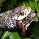 Buff Striped Keelback - eating a frog