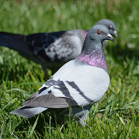 Backyard Visitors by Ed Hanson - Animals Birds ( pigeon, bird, grass, white, gray )