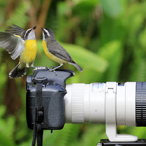 by Itamar Campos - Animals Birds ( brazil, morretes, bananaquit, cambacica, pr,  )