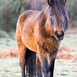 Hopeful pony by Andy Boyce - Animals Horses ( orange, pony, mane, shallow, horse, new forest, morning, sun, depth, field, chestnut, fur, focus, sunrise, hair, black, eye )
