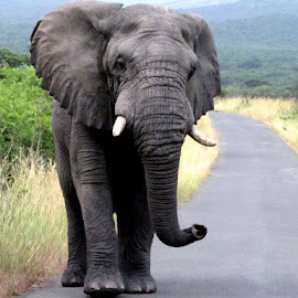 Elephant by Evelyn du Randt - Novices Only Wildlife (  )
