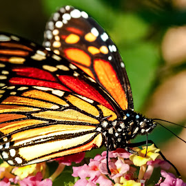Monarch Butterfly by Carol Plummer - Animals Insects & Spiders ( butterfly, macro, nature, monarch, lantana, insect,  )