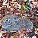 Nuttall Rabbit