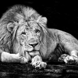 At Rest by Jeff Clow - Animals Lions, Tigers & Big Cats ( lion, big cats, black and white, mane, strong, powerful, male lion )