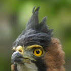 Ornate Hawk-eagle. Aguilucho Penachudo