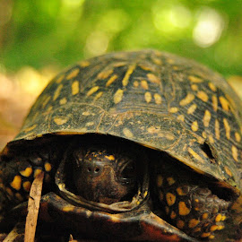 'Leopard' Turtle's shell 3 by Kelly Gamrat - Animals Reptiles ( shell, details, turtles, turtle )