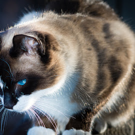 Al stalking the chickens by Timothy Miller - Animals - Cats Portraits ( beautiful cat, cat portrait, depth of field, siamese cat, blue eyed cat, snowshoe cat )