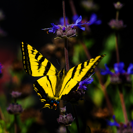Swallowtail on Blue Flower-4 by Ken Wade - Animals Insects & Spiders ( butterfly, blue, yellow, swallowtail )