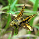 Yellow-banded Dart