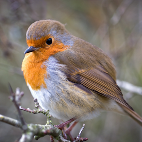 Robin Red Breast by Mike Woodford - Animals Birds ( robin, red, christmas, cute, birds )