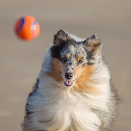 Sheltie on the move by 'Monique Smit - Animals - Dogs Running