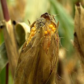 Corn by Iztok Urh - Nature Up Close Other plants