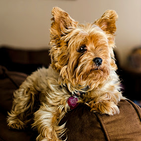 Hannah by Steve Forbes - Animals - Dogs Portraits ( yorkie, yorkshire terrier, yorkshire, puppy, dog )