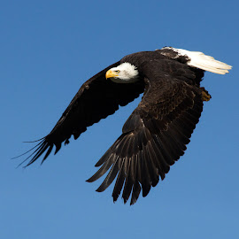 Free by John Phielix - Animals Birds ( flying, flight, sky, eagle, wings, feathers )