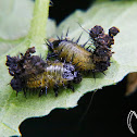 Tortoise beetles larvae