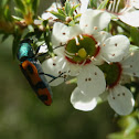 Jewel Beetle - 6