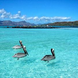 Three Amigos by Taylor Sanderson - Landscapes Beaches ( mexico, ocean, beach, paradise, pelican )