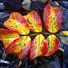 Beautiful leaves by Dobrin Anca - Nature Up Close Leaves & Grasses ( couleur, france, leaves, walk, rain,  )