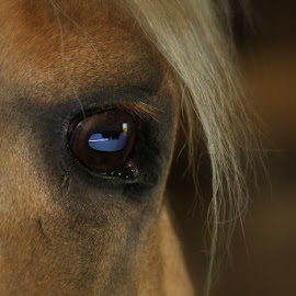 Beauty Within by Rhonda Mock Short - Animals Horses ( palomino, equine, horse, wisdom, golden, eye, optic,  )