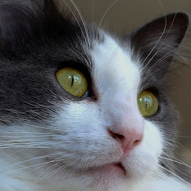 The Watcher in the Window by Tim Hall - Animals - Cats Portraits ( expression, cat, cat eyes, watching, whiskers, soft light )