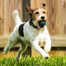 Get That Ball by Shawn Klawitter - Animals - Dogs Playing ( fetch, jack russell, outdoors, play, catch, dog )