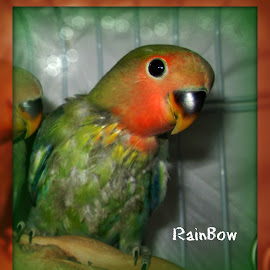 RainBow baby pic by Denise Landrum - Typography Captioned Photos ( bird;lovebird;colors;feather; )