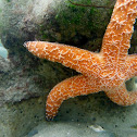 Pacific (Ochre) Seastar