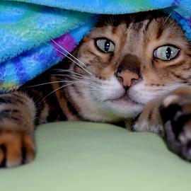 Storm Getting Cozy by Lin Fauke - Animals - Cats Playing ( kitten, cat, storm, exotic, bengal, leopard, asian,  )