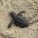 Green sea turtle (hatchling)