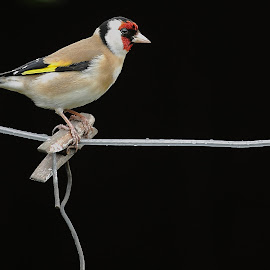 Goldfinch by Steve Adams - Animals Birds ( colour, bird, wire, finch, goldfinch, black )
