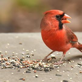 Male Northern Cardinal by Cozy Cats - Animals Birds ( bird, cardinal, fly, wildlife, seeds,  )
