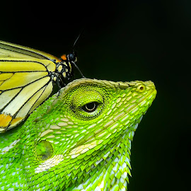 butterfly and bunglon by Hendrata Yoga Surya - Instagram & Mobile Android ( reptiles, bunglon, green crested lizard, londok )