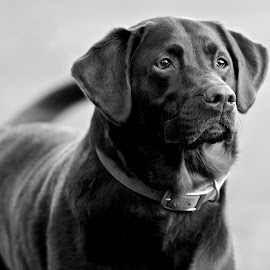 by Jeannette Thalmann-Bendeth - Animals - Dogs Portraits ( dog, lab, eyes,  )