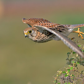 Common Kestrel - Female by Mann Arya - Animals Birds ( sudhir garg, kishan meena, devki nandan )