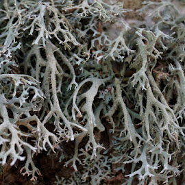 Lisaj by Igor Gruber - Nature Up Close Other plants ( lichen )