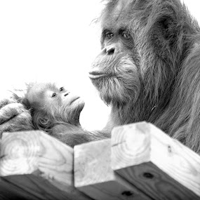 forever my baby  by Ruth Jolly - Animals Other Mammals ( nature, mom and baby, black and white, orangutan, wildlife, primate, cute, monkey,  )