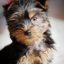 Lee 2 by Michal Zbojan - Animals - Dogs Puppies