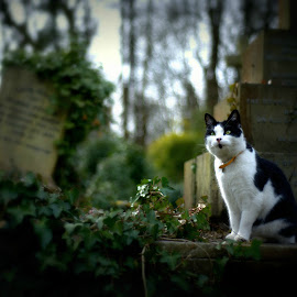 Waiting for someone... by Piotr Owczarzak - Animals - Cats Portraits ( looking, cat, london, cemetery, highgate, united kingdom, animal )