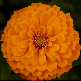 Orange Zinnia by Robin Morgan - Digital Art Things ( orange, zinnia, flower, photoshop )