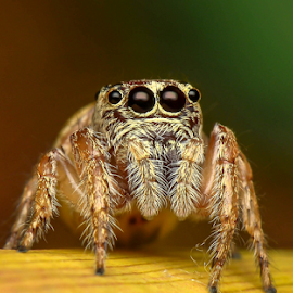 Thinking of offspring look-a-like by Dave Lerio - Animals Insects & Spiders ( habronittus sp. salticidae, jumping spider,  )