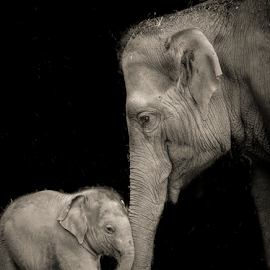 Bull and calf by Chris Wild - Animals Other Mammals ( ireland, zoo, black and white, dublin, elephant, calf, bull )