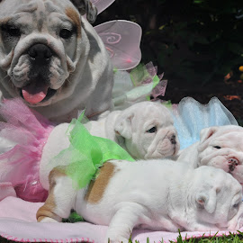 by Kim Brown - Animals - Dogs Puppies ( ssenglishbulldogs )