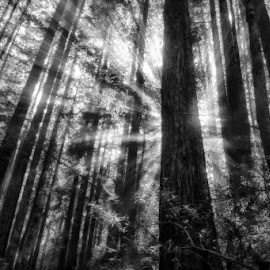 Standing Against The Sun by Jeremy Bartlett - Landscapes Forests ( natural light, nature, east bay, tree, california, outdoor, forest, surreal, landscapes, landscape, sunlight, sun )