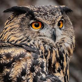 Eurasian Eagle Owl by Ron Meyers - Animals Birds ( 2014 royal gauntlet raptors )