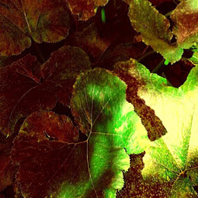 The Glossy Leaves of Zucchini by Nat Bolfan-Stosic - Nature Up Close Leaves & Grasses ( zucchini, glossy, red green, leaves, garden )
