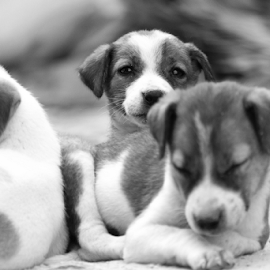puppies potraits by Phanindhra Addepalli - Animals - Dogs Puppies