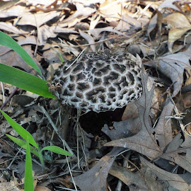 Leopard Mushroom by Keith Bass - Nature Up Close Mushrooms & Fungi ( camouflage mushroom, mushroom, arkansas photographer, leopard mushroom, arkansas, camouflage, mushrooms )