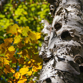 Birch in the Autumn by Tammy Drombolis - Nature Up Close Trees & Bushes
